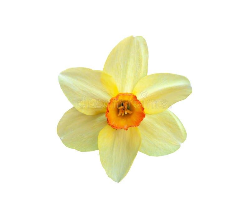 Narcisse jaune de belle fleur d'isolement sur le fond blanc photo libre de droits