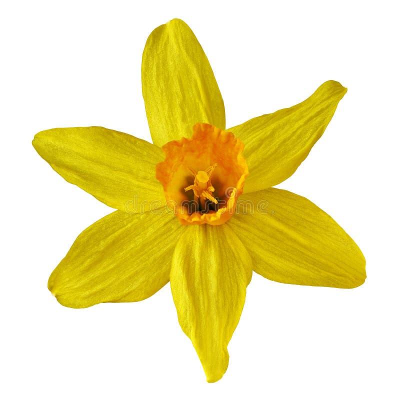 Narcisse jaune-orange de fleur d'isolement sur le fond blanc Fin de bourgeon floral vers le haut image stock