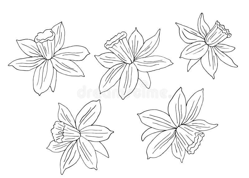 Narcisse ou jonquilles Illustration tirée par la main de vecteur Croquis noir et blanc monochrome d'encre Schéma D'isolement sur  illustration libre de droits