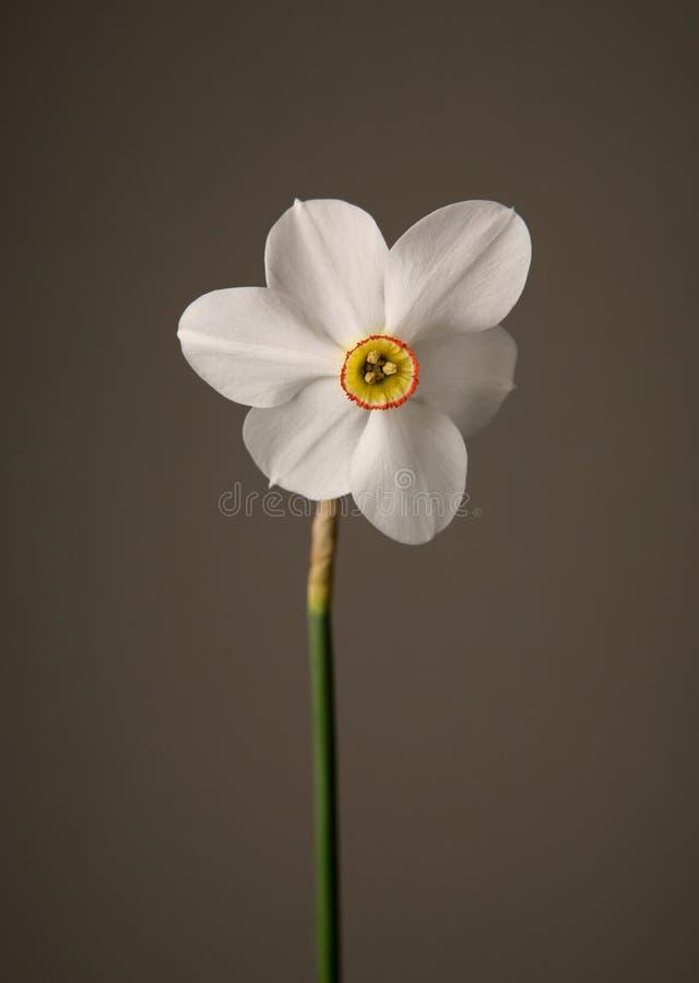 Narcissen stock foto