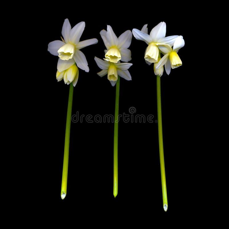 Narcissen stock foto's