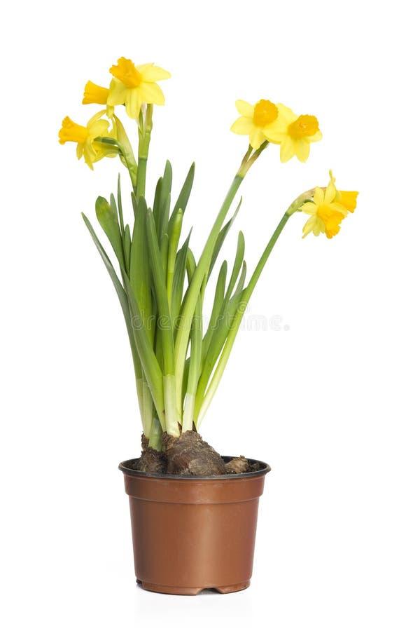 Narcissen (Gele narcis) royalty-vrije stock foto's