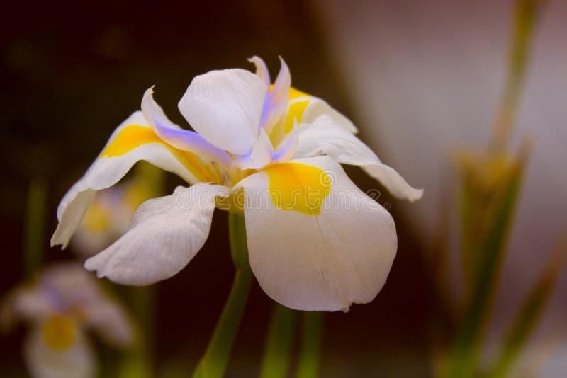 Narcissen (gele narcissen) witte bloemblaadjes met compacte geel en purpl royalty-vrije stock foto's