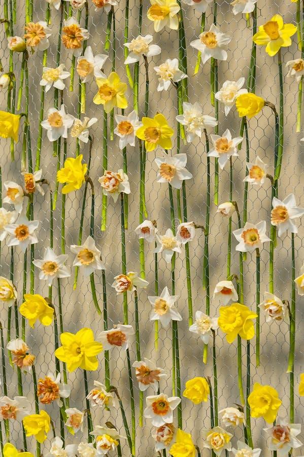 Narcissen op netto metaal stock afbeelding