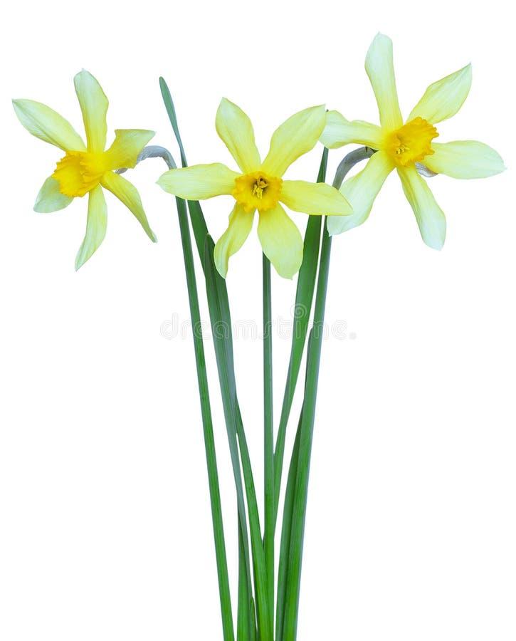 Narcissenbloemen stock foto's