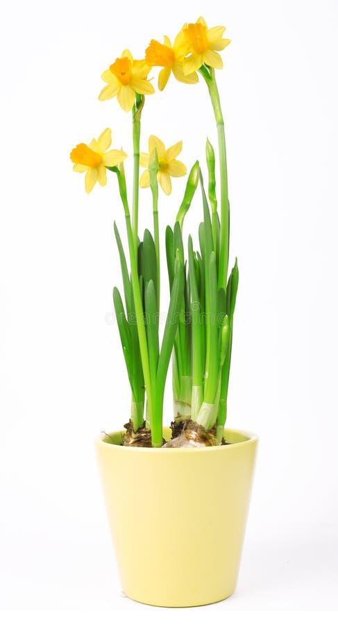 Narcissenbloemen in pot op witte achtergrond wordt geïsoleerd die royalty-vrije stock afbeelding