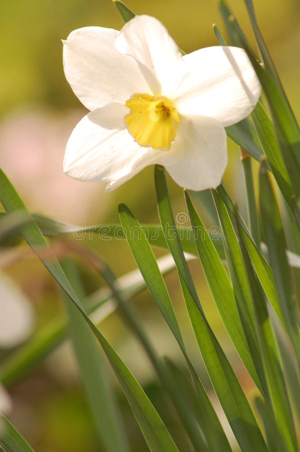Free Narcissi Flower Royalty Free Stock Image - 30274986