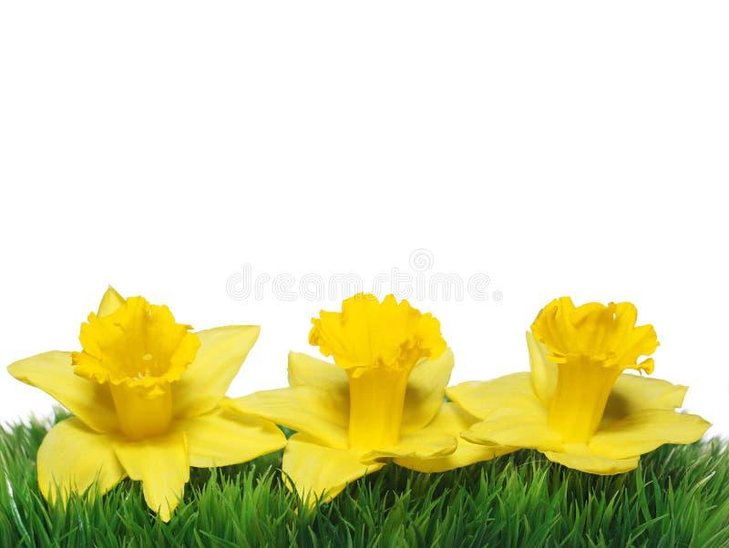 Narcissus весны. Желтые Daffodils на зеленой траве стоковое изображение
