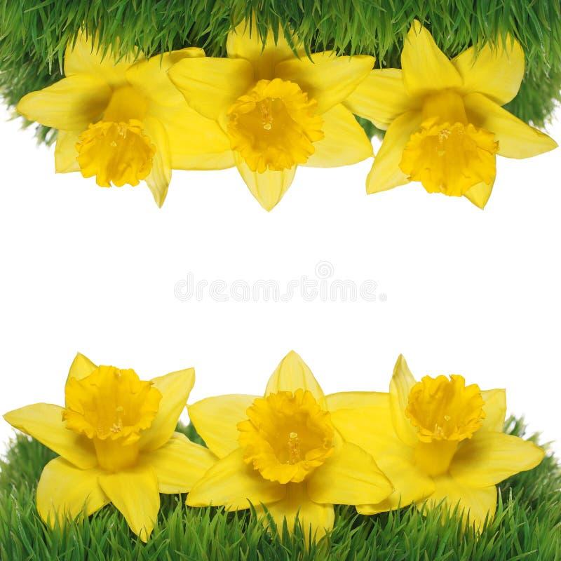 Narcissus весны цветет граница. стоковое фото