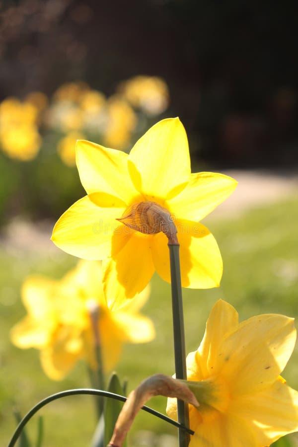 Narcissus цветка Daffodil макроса осмотренный от задней части цветка стоковое изображение