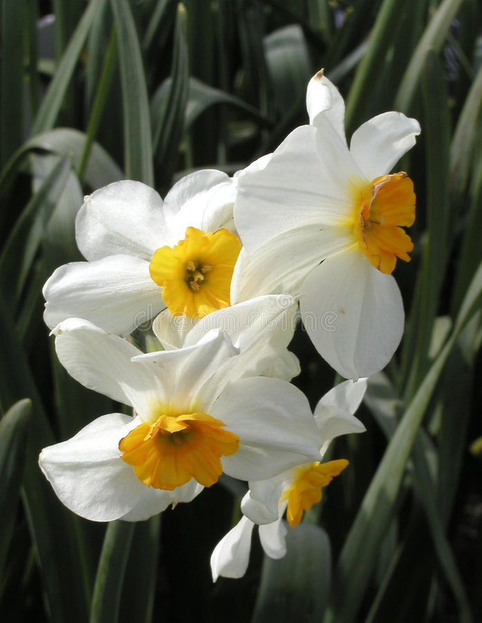 Download Narcissus Stock Image - Image: 116131