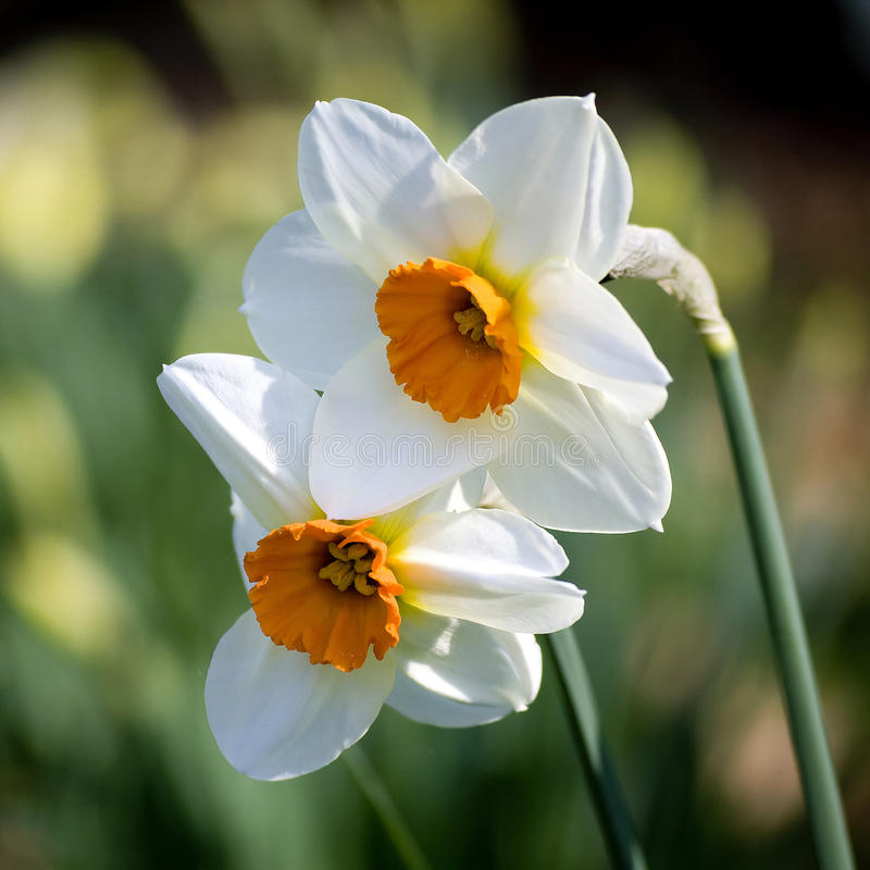 Narcissus. Spring in the park royalty free stock photo