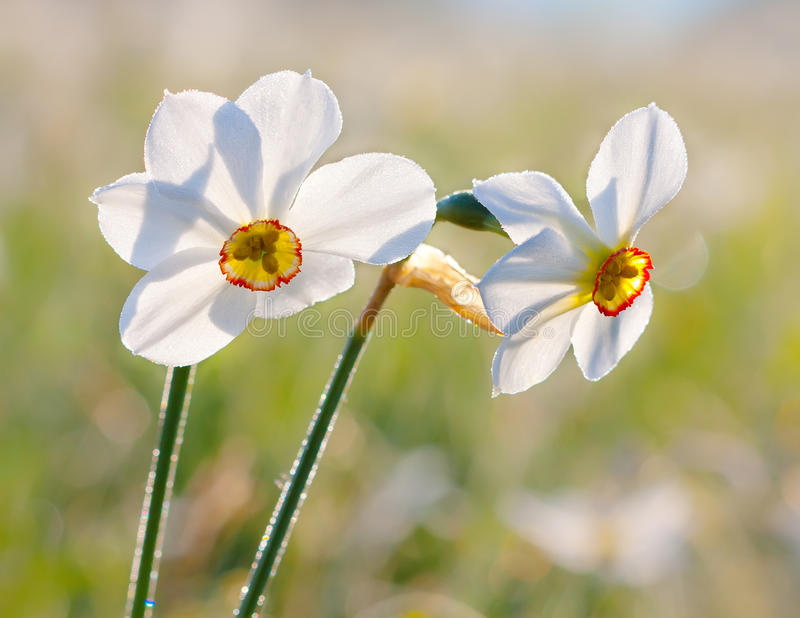 Narcissus. Flower blooming on blured background stock images