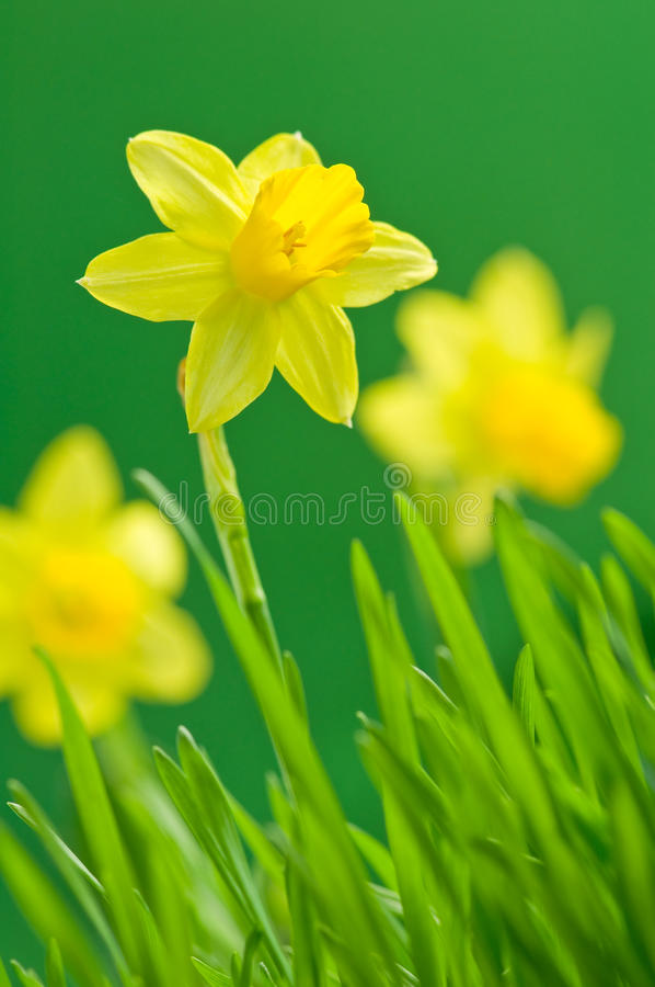 Narcissus. Yellow narcissus on green background stock photos