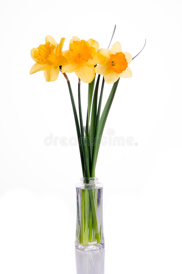 Narcissus. Flower isolated on white royalty free stock photography