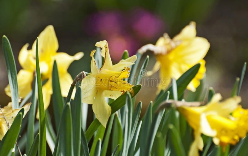The narcissus. Close-up on some narcissus by a springtime day stock photography