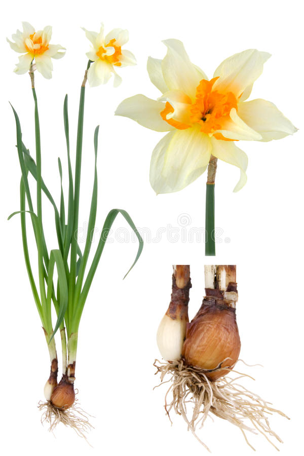 Narcissus. Plant narcissus inclusive bulb on white background royalty free stock photography