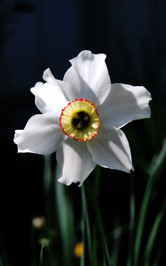 narcissus стоковая фотография rf