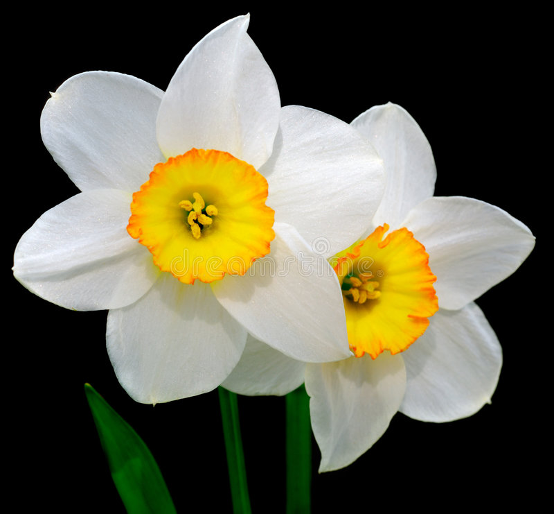 Narcissus. Close-up view to the narcissus on black background royalty free stock photos