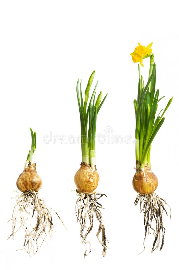 Narcissus. Growing comparison with roots stock photos