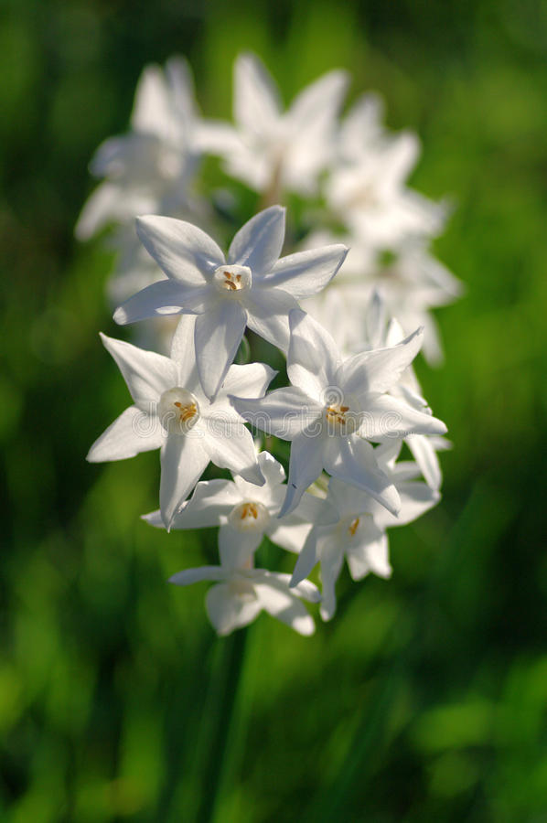 Narcissus. Flowered paper-white Narcissus in the sun stock photography