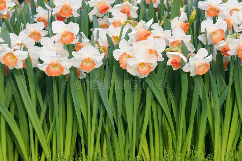 Narcissus. The clouse-up of narcissus flower royalty free stock photos