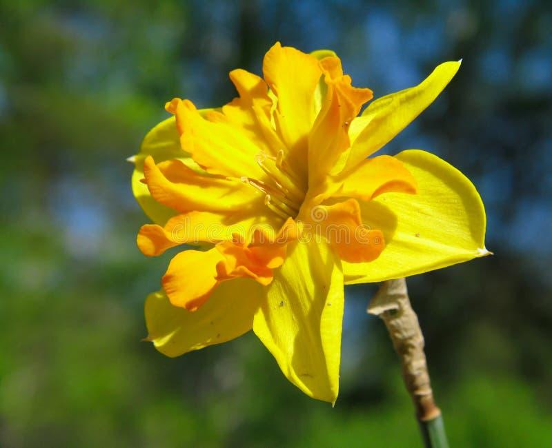 Download Narcissus стоковое фото. изображение насчитывающей сад - 488658