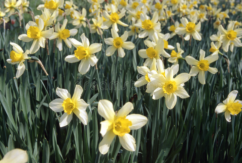Narcissus. Field stock images