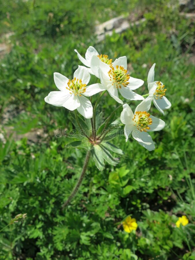 Narcissus anemone or Narcissus-flowered anemone Anemone narcissiflora stock photo
