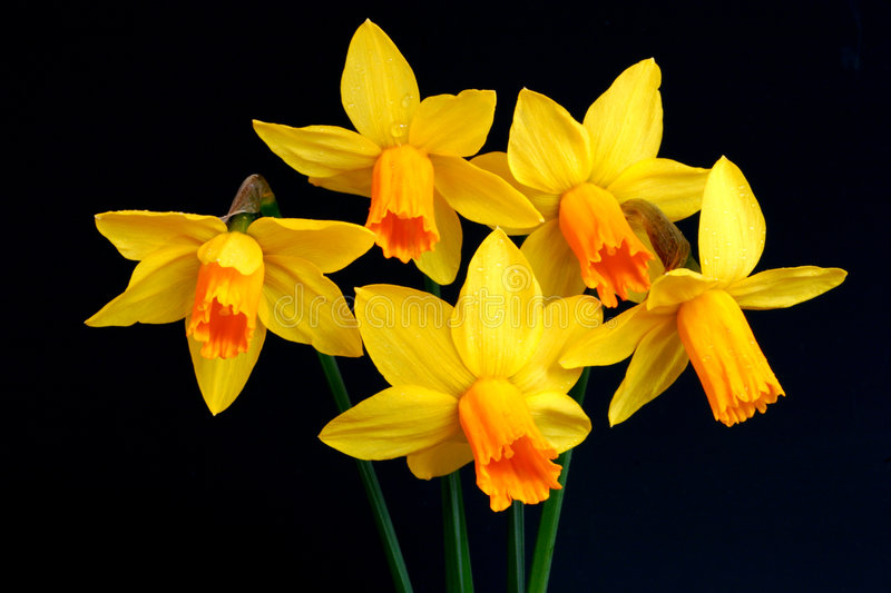 Narcissus Beauties stock image