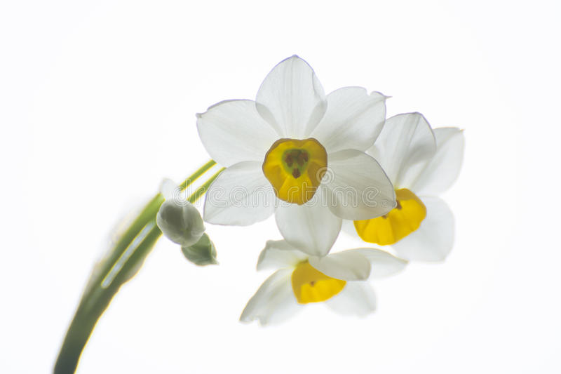 Narcissus. Beautiful springtime narcissus isolated on a white background royalty free stock photo
