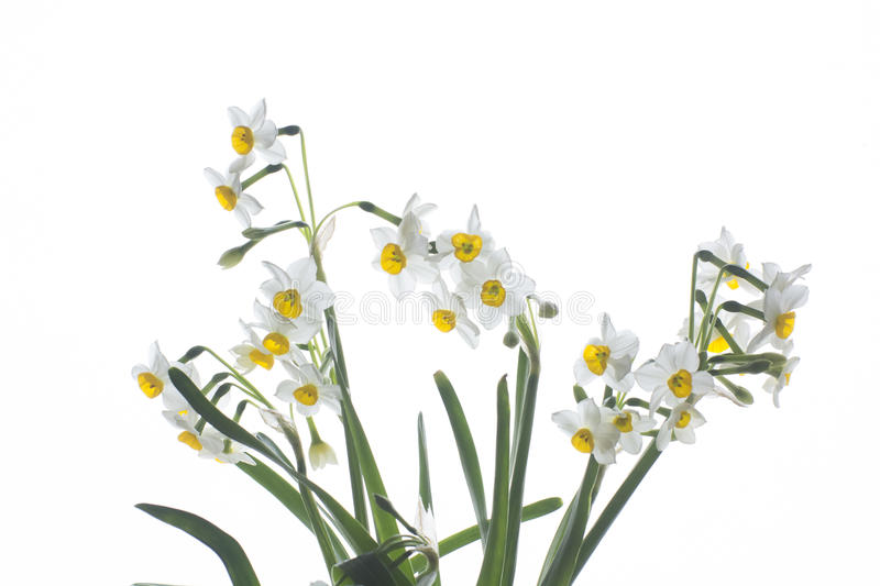 Narcissus. Beautiful springtime narcissus isolated on a white background stock photography