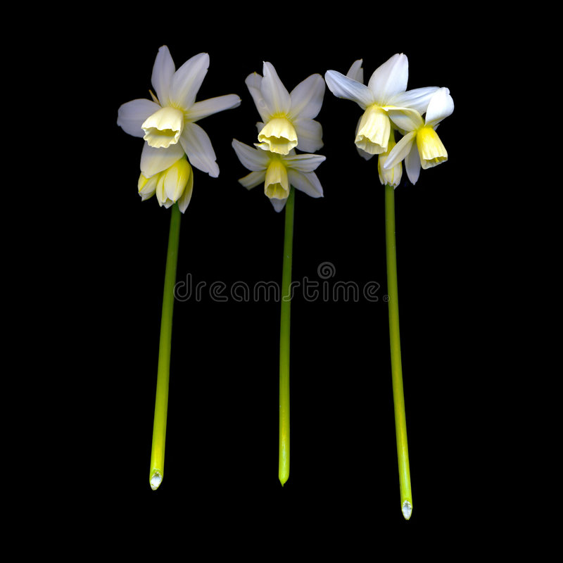 Narcissus on Black Background stock photos