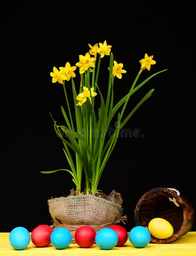 Narcissus in bright yellow colour growing in sackcloth pot. Near wooden bucket lying on wood table and red, blue and yellow eggs falling out of it isolated on stock photography