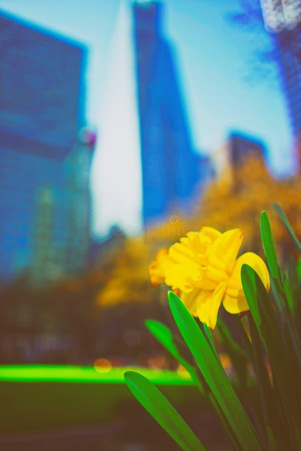 Narcissus Bryant Park jaune photos libres de droits