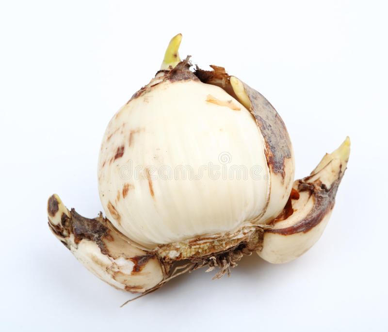 Narcissus bulb. Over white background royalty free stock image