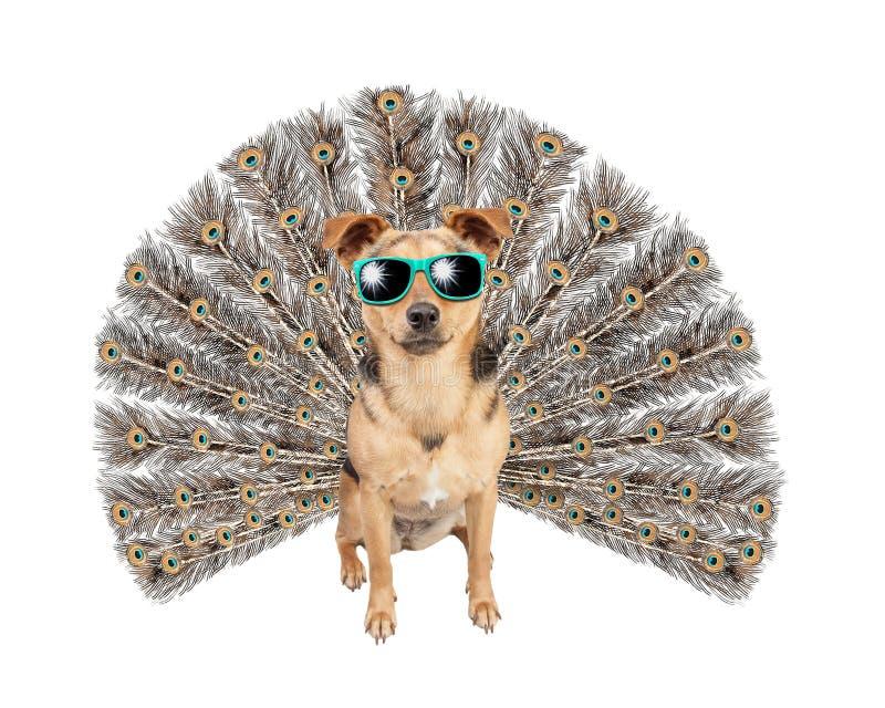 Narcissus Cool Dog con las gafas de sol que llevan de la cola del pavo real o del peafowl aisladas imagenes de archivo
