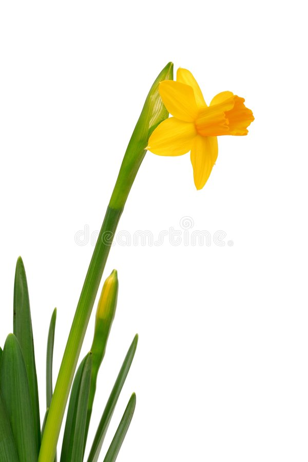 Narcissus - Daffodil royalty free stock photos