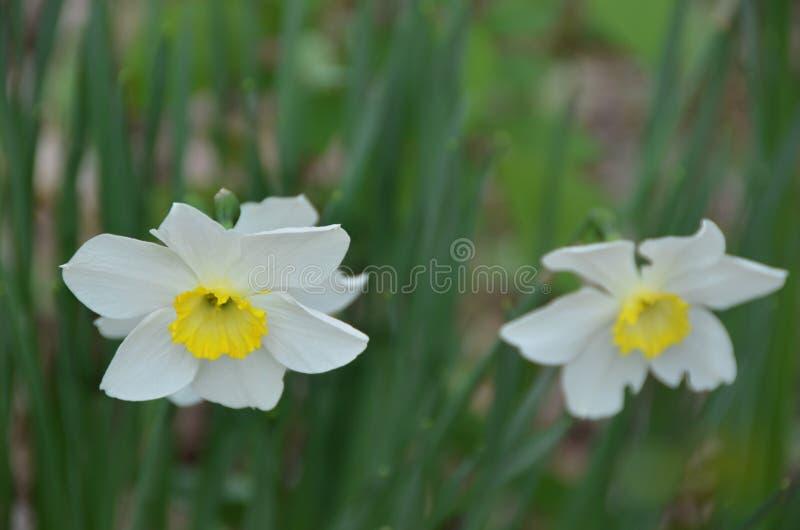 Narcissus Daffodil en el jardín es una muestra de la primavera imagenes de archivo