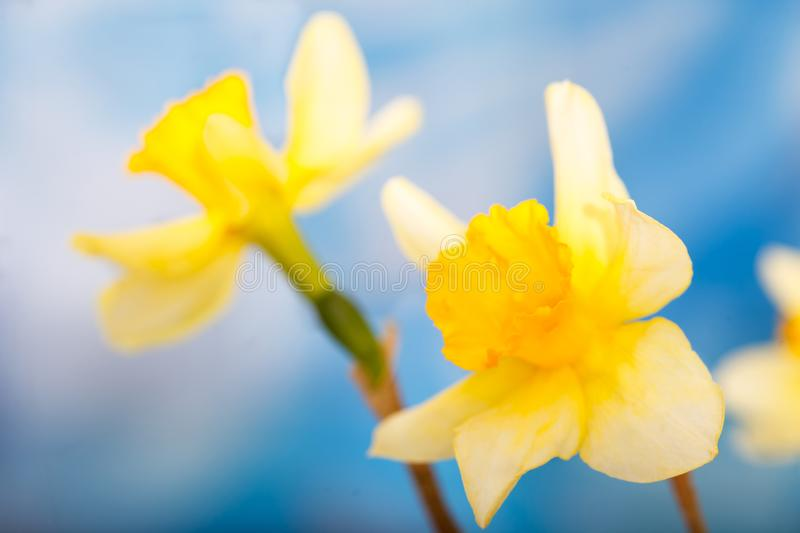Narcissus daffodil flower isolated on blue sky background royalty free stock photos