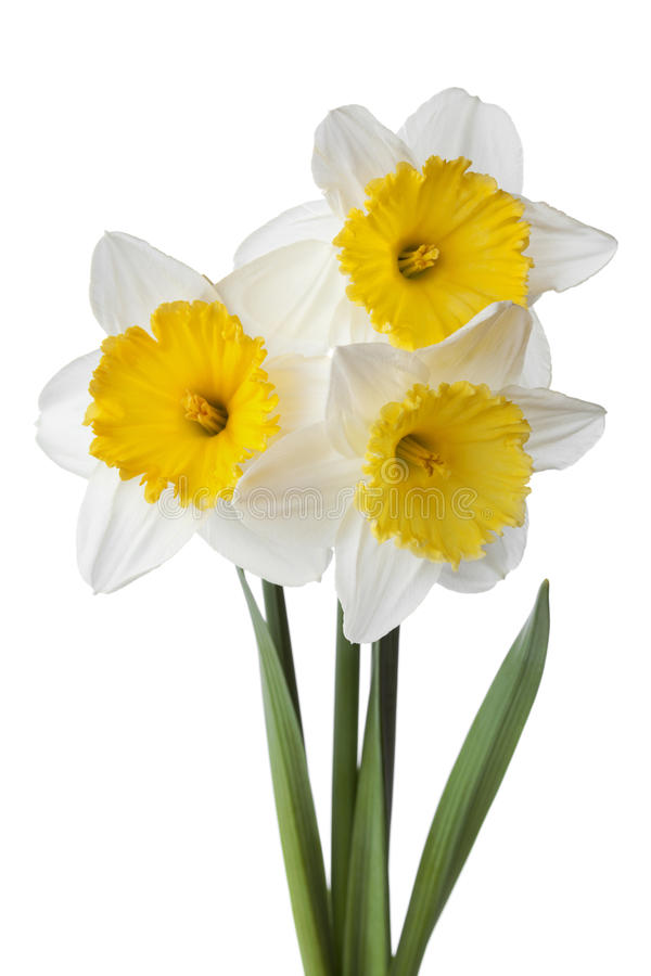 Narcissus, daffodil, jonquil isolated on white background stock images