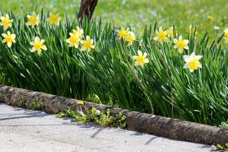 Narcissus or Daffodil perennial herbaceous bulbiferous geophytes flowering plants with yellow flower planted in a row next to. Narcissus or Daffodil or stock image