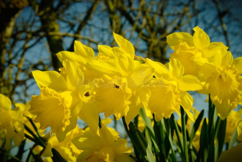Narcissus or daffodils. stock photos