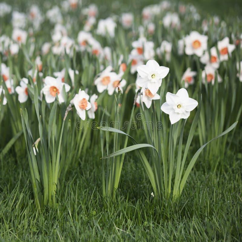 Narcissus Daffodils-de lentebloemen royalty-vrije stock foto's
