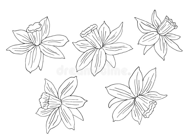 Narcissus or daffodils. Hand drawn vector illustration. Monochrome black and white ink sketch. Line art. Isolated on white royalty free illustration