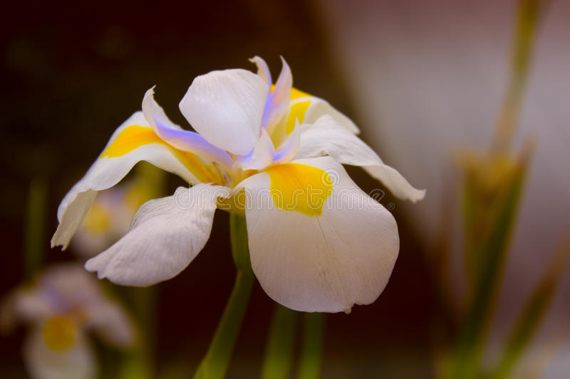 Narcissus (daffodils) white petals with compact yellow and purple rimmed trumpet, flowering in spring royalty free stock photos