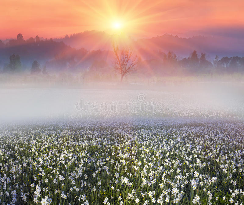 Narcissus at dawn. Among the background of mountains and river valleys in the spring grow beautiful wild- daffodils. They are especially beautiful and fragrant royalty free stock photos