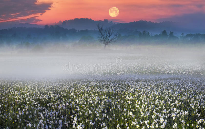 Narcissus at dawn. Among the background of mountains and river valleys in the spring grow beautiful wild tsvety- daffodils. They are especially beautiful and stock image