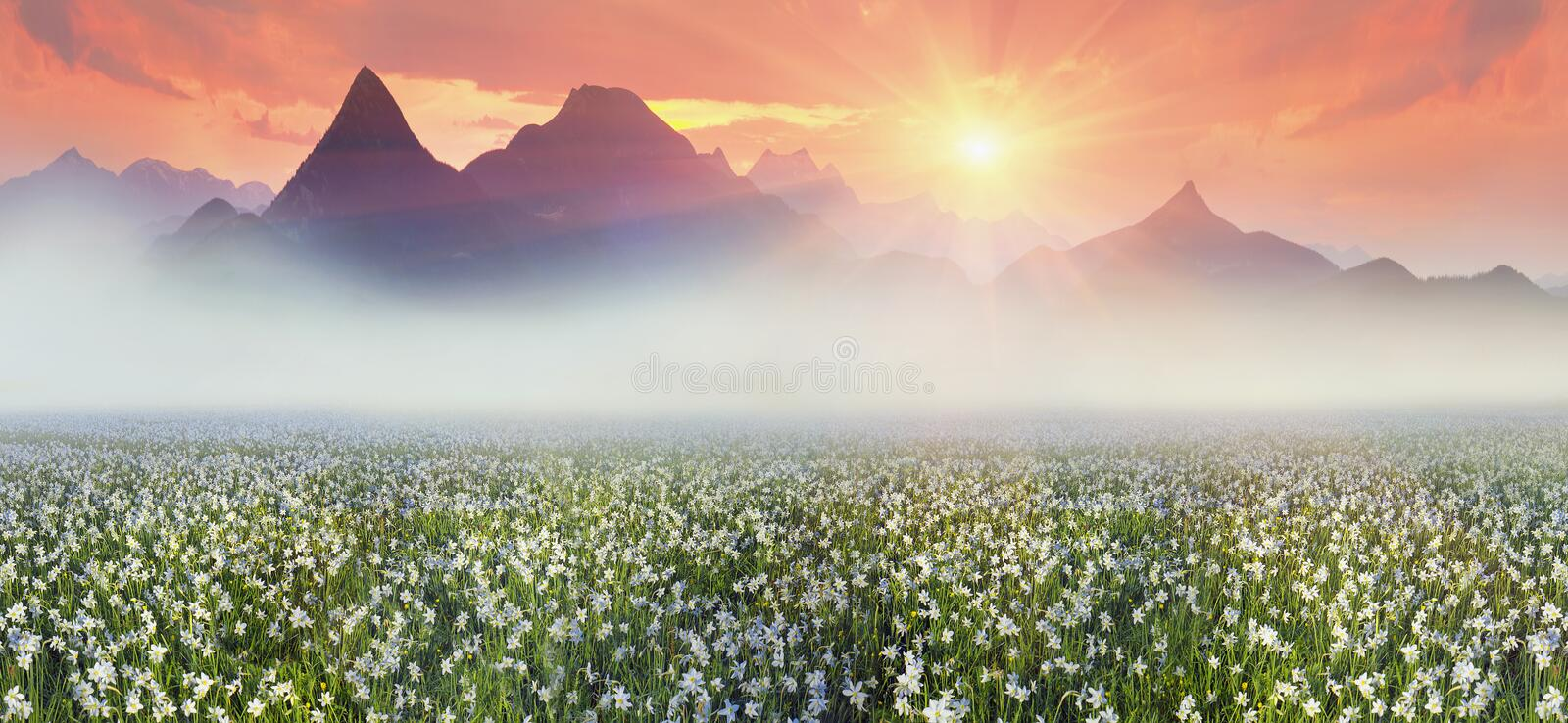 Narcissus at dawn. Among the background of mountains and river valleys in the spring grow beautiful wild tsvety- daffodils. They are especially beautiful and royalty free stock images