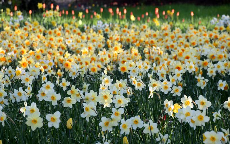 Narcissus field in bloom on spring, many narcissus flowers blooming in garden royalty free stock images